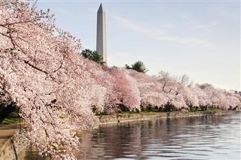 Washington DC Cherry Blossom Tour